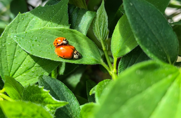 Two ladybirds on a leaf
